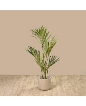 KENTIA PALM TREE GREEN