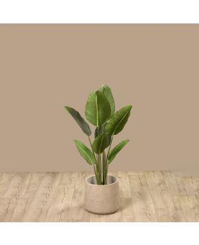 PLANT STERLITIZA 120 CM