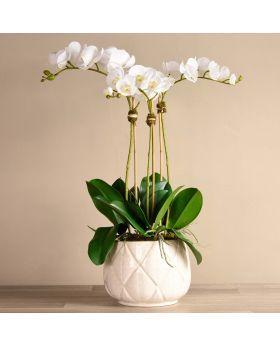Stella Orchid Arrangement/ White / Large