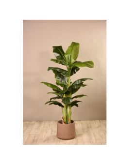 Banana Tree Green 180Cm